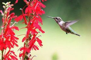 cardinal-flower